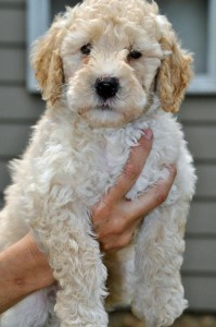 Midwest-Labradoodle-STAR-Red-Collar-Male-7-Weeks